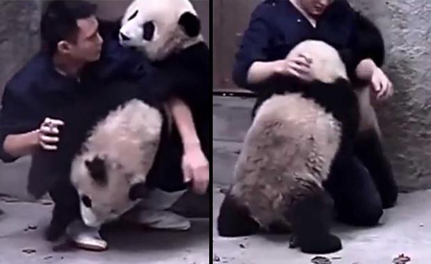 Cuidador de zoológico trata de darle medicina a dos pandas bebe... ¡Misión supertierna!