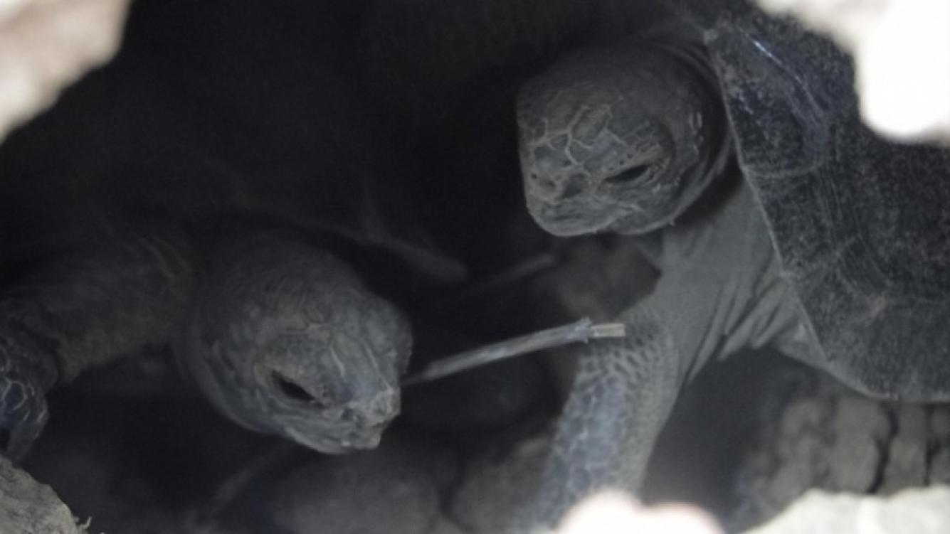 Tortugas nacen en las Islas Gálapagos después de un siglo