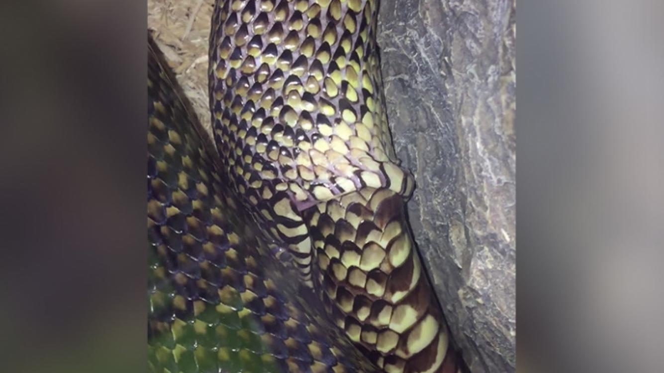 """Serpiente """"comiéndose"""" a sí misma enloquece las redes sociales"""