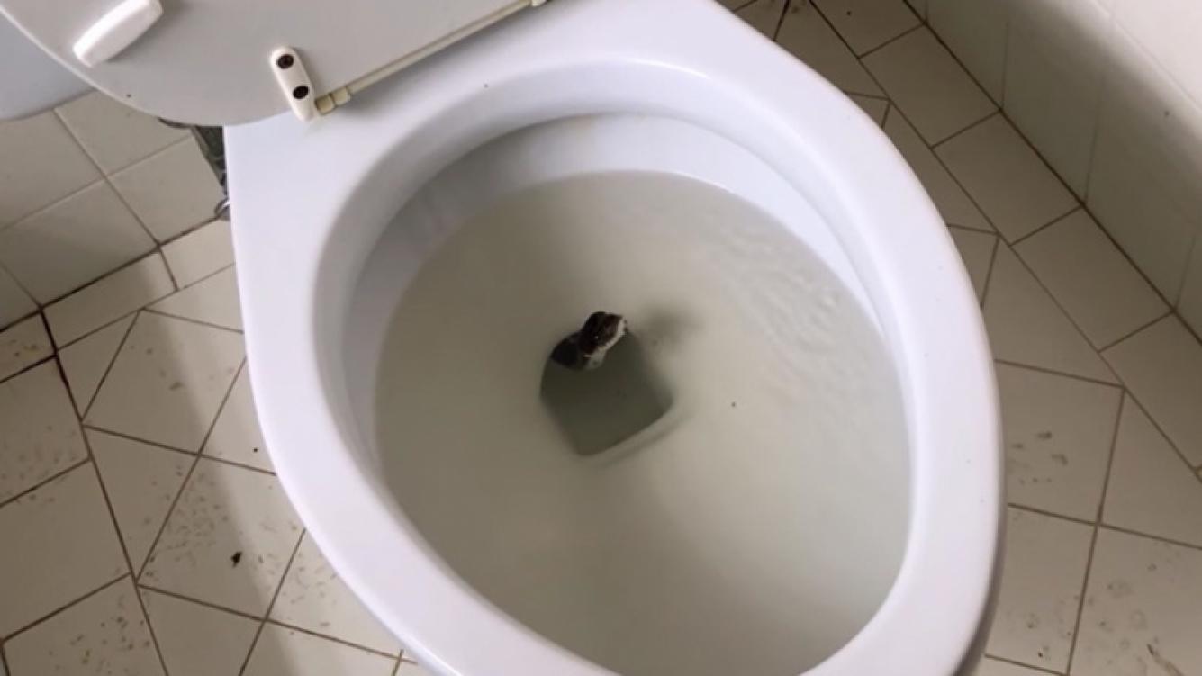 Enorme serpiente fue encontrada dentro de un inodoro