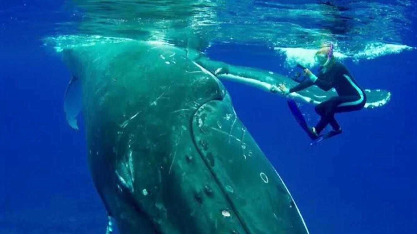 Ballena protegió bajo su aleta a un submarinista