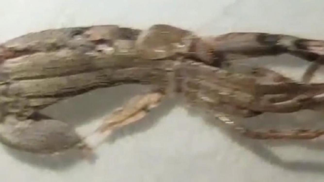 Una insólita araña causó pánico en Internet