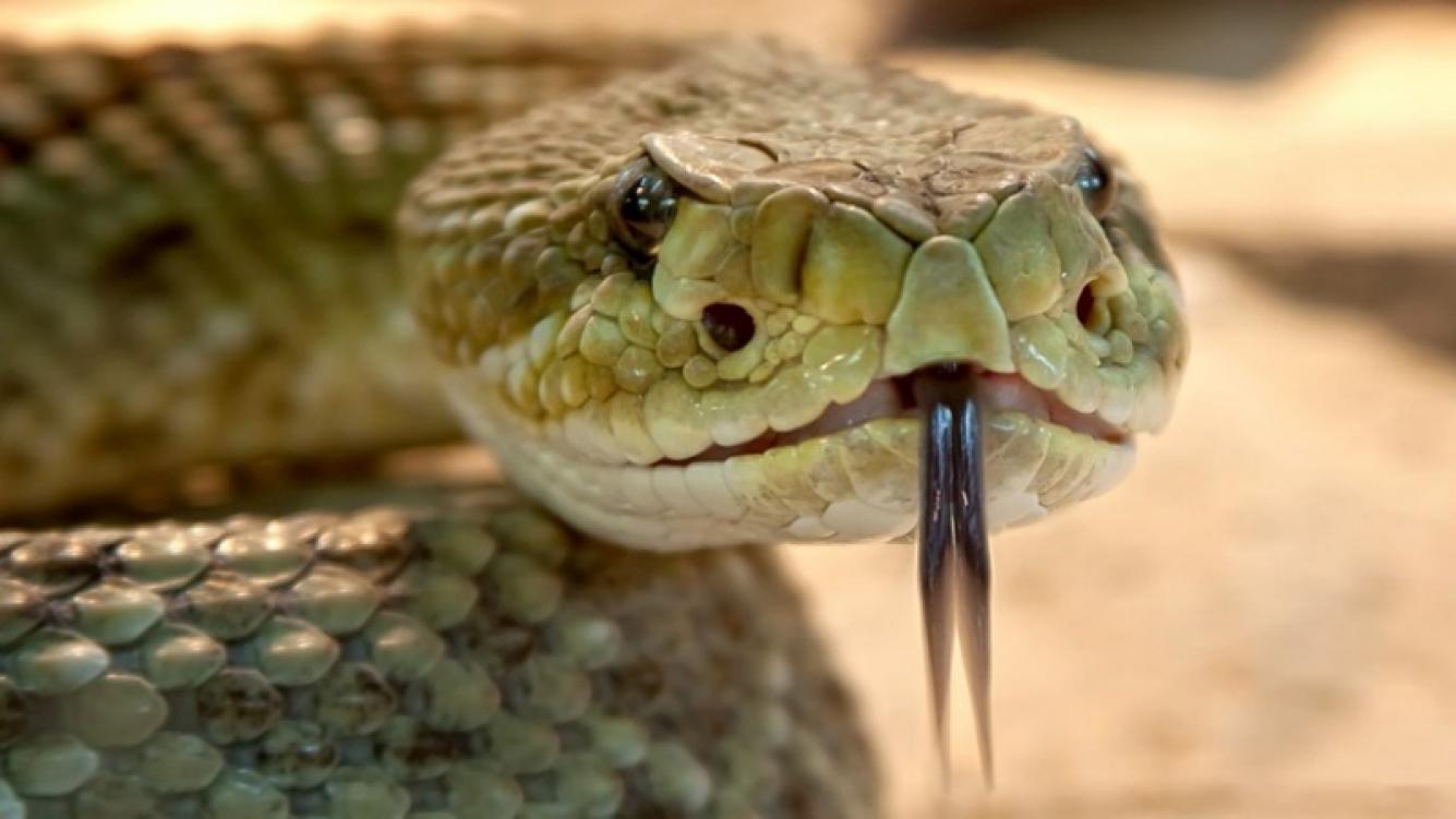 Esta serpiente es capaz de matar a 100 personas con su veneno