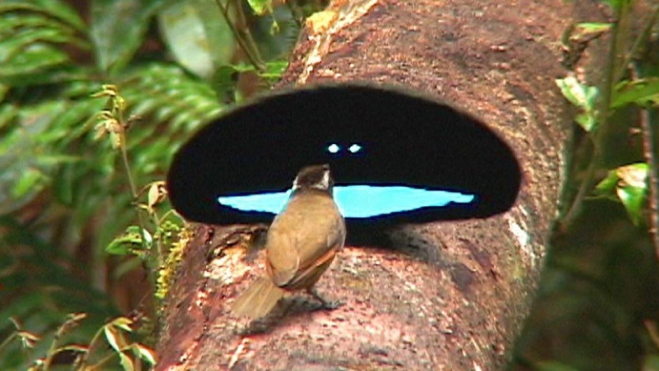 Este ave se torna del color negro más intenso del mundo
