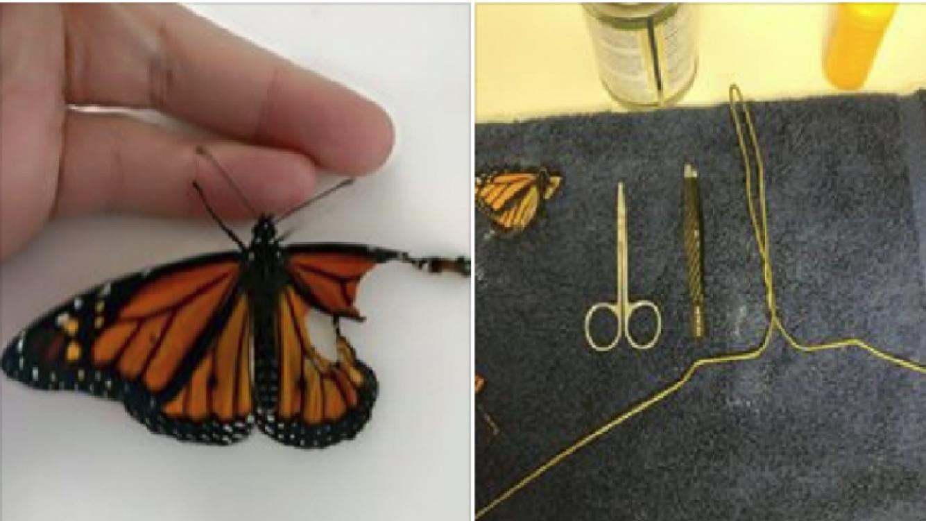 Una modista reconstruyó el ala de una mariposa y la hizo volar