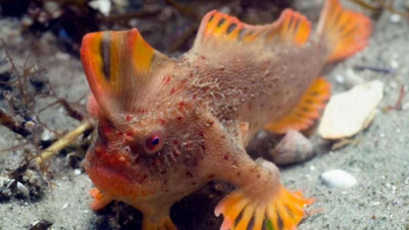 Descubrieron peces que caminan en Australia