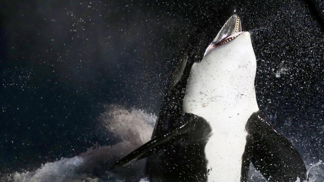 Una Orca aprendió a decir hola, adiós y contar hasta tres