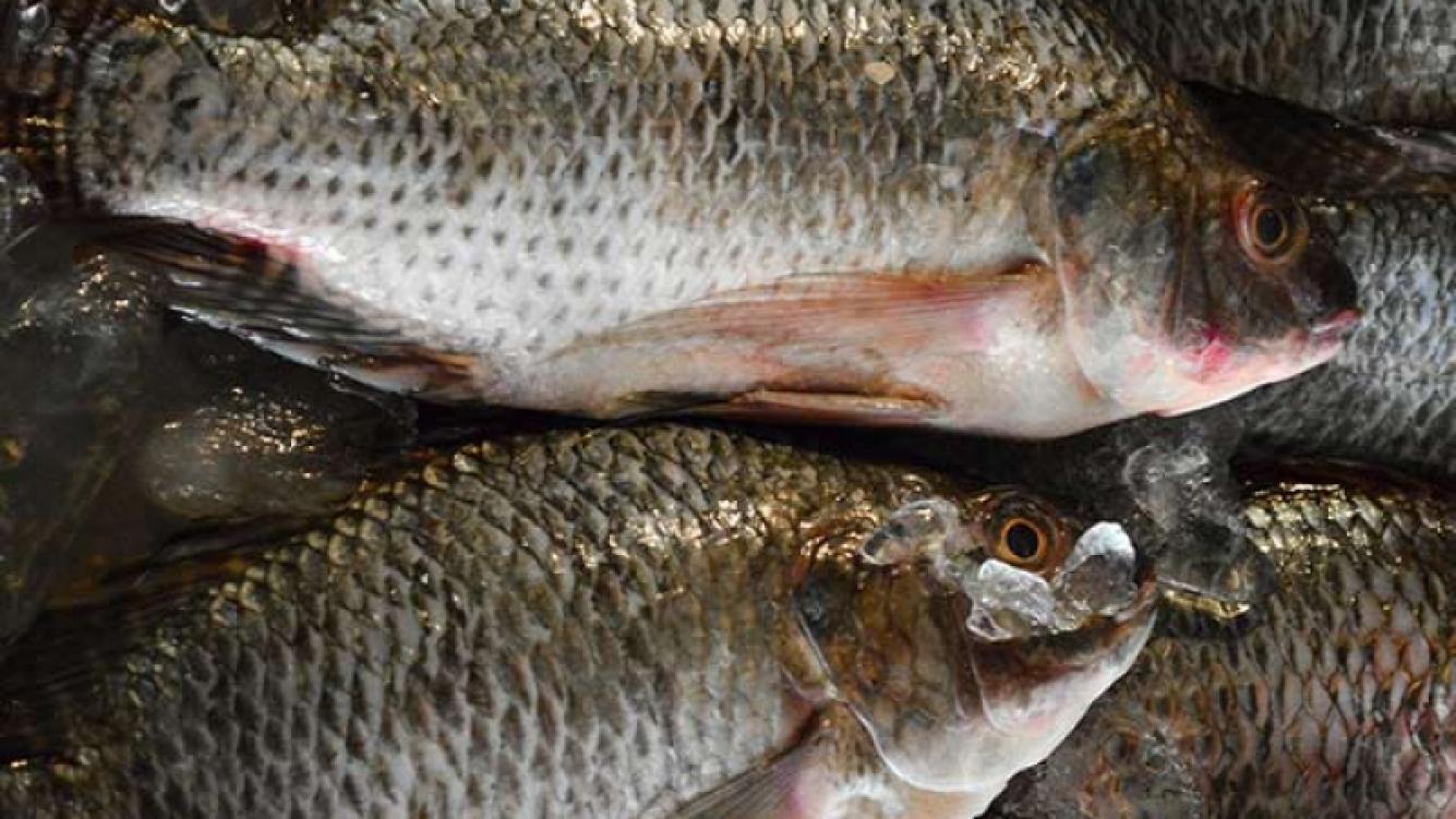 Desarrollaron plástico sustentable con escamas de pescado en México