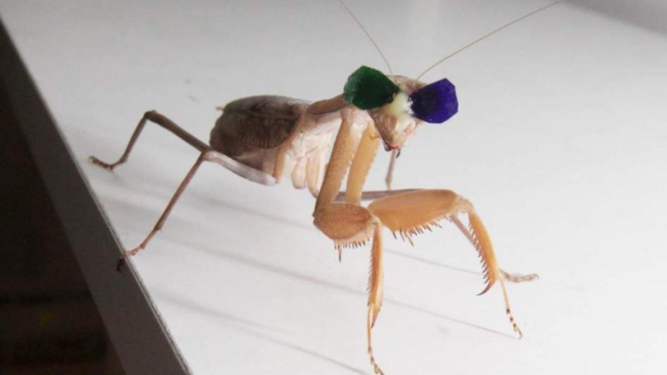 Colocaron gafas 3D en una mantis religiosa para estudiar su visión