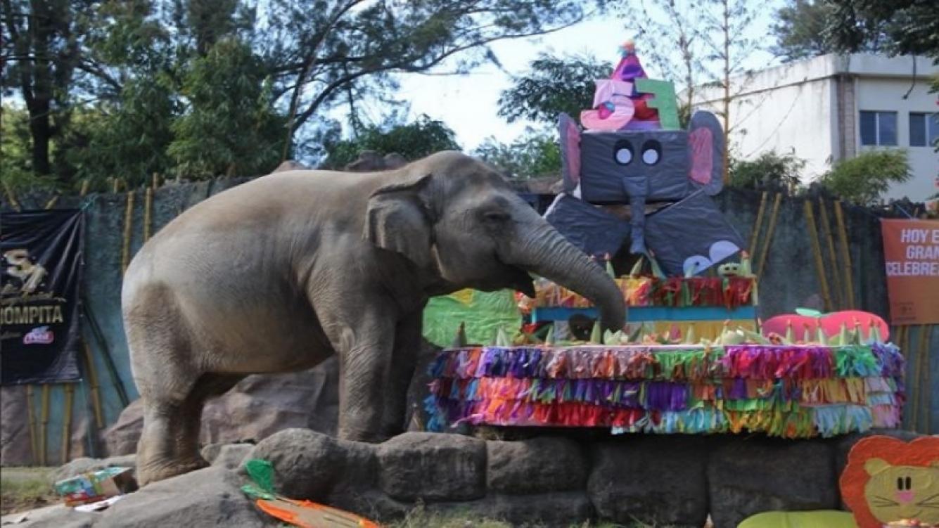 Celebraron el cumpleaños de un elefante con una torta de 100 kilos