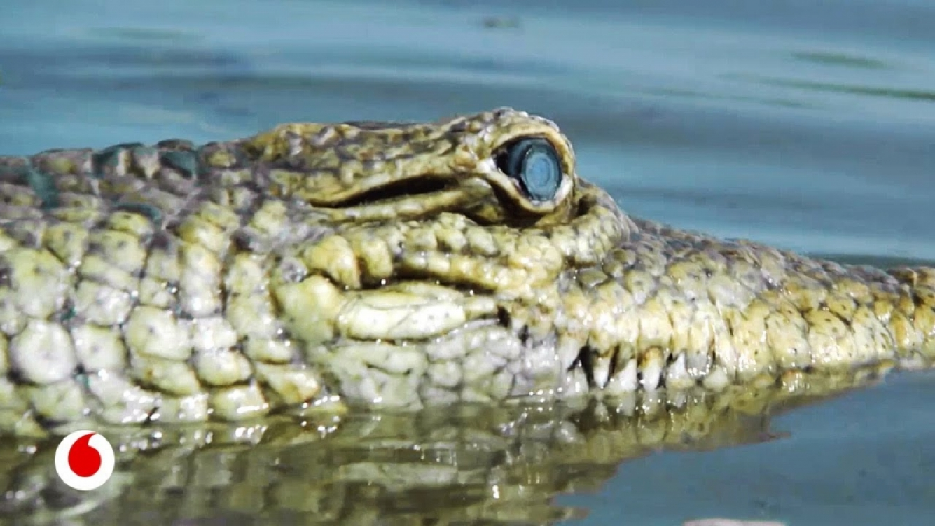 La BBC utilizó cocodrilos robots para espiar en su hábitat natural