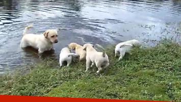 Perro enseña a sus cachorros a nadar en un lago