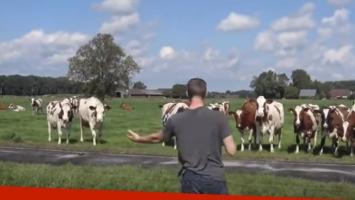Hombre cautiva a las vacas con sus eructos