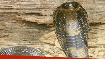 Una enorme cobra sembró el pánico en una carretera de Vietnam