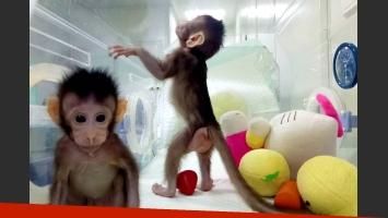 China clonó monos con técnica usada en la oveja Dolly