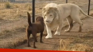 Este león está arrasando en las redes sociales por el gesto que tuvo con un perrito