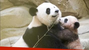 Bebé panda de Francia hace su primera aparición pública (Foto: Web)